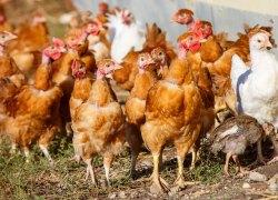 Już można handlować ptactwem żywym, mięsem i jajkami na targowisku w Koźminku!